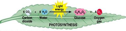 immagine 11 fotosintesi umana
